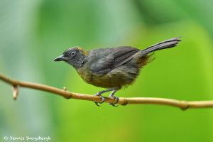 8875 Immature Dusky-faced Tanager (Mitrospingus cassinii), Costa Rica