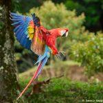 8480 Scarlet Macaw (Ara macao), Costa Rica