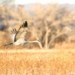 8342 Sandhill Crane (Grus canadensis), Bosque del Apache, NM