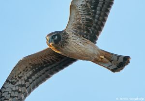 8343 Northern Harrier (Circus cyaneus), Bosque del Apache, NM