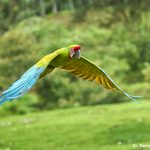 8485 Great Green Macaw (Ara ambiguus), Costa Rica