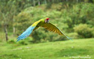 8485 Great Green Macaw (Ara ambiguus), Costa Rica