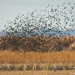 8346 Swarming Flock of Red-winged Blackbirds. Bosque del Apache, NM