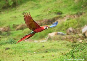 8481 Scarlet Macaw (Ara macao), Costa Rica