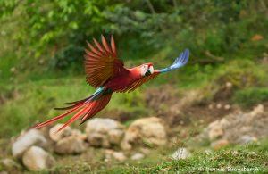 8482 Scarlet Macaw (Ara macao), Costa Rica