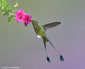 9011 Booted Racket-tail Hummingbird (Ocreatus underwoodii), Tandayapa Bird Lodge, Ecuador