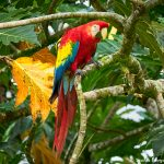 8483 Scarlet Macaw (Ara macao), Costa Rica