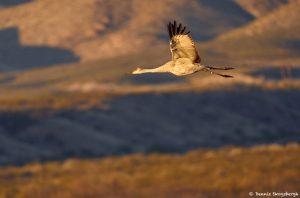 8348 Sunrise, Sandhill Crane (Grus canadensis), Bosque del Apache, NM