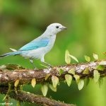 9018 Blue-Gray Tanager (Thraupis episcopus), Ecuador