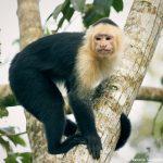 8786 White-Faced (Capuchin) Monkey (Cebus capucinus), Costa Rica
