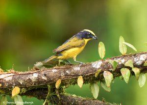 9019 Thick-billed Euphonia (Euphonia laniirostris), Ecuador