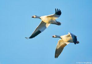8350 Snow Geese (Chen caerulescens), Bosque del Apache, NM