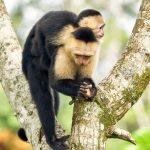 8787 White-Faced (Capuchin) Monkey (Cebus capucinus), Costa Rica