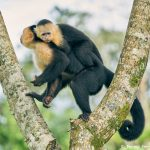 8788 White-Faced (Capuchin) Monkey (Cebus capucinus), Costa Rica