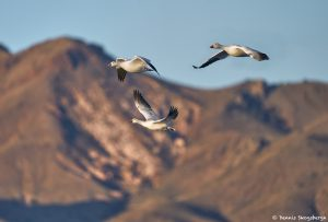 8351 Snow Geese (Chen caerulescens) and Ross, Bosque del Apache, NM