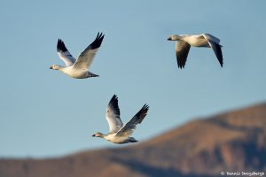 8352 Snow Geese (Chen caerulescens) and Ross, Bosque del Apache, NM