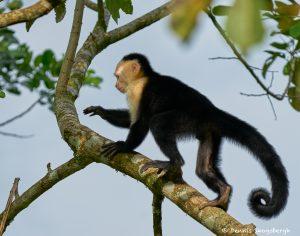8789 White-Faced (Capuchin) Monkey (Cebus capucinus), Costa Rica