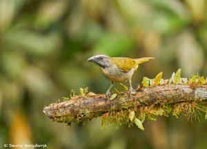 9022 Buff-throated Saltator (Saltator maximus), Ecuador