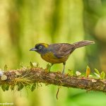 9023 Dusky-faced Tanager (Mitrospingus cassinii), Ecuador