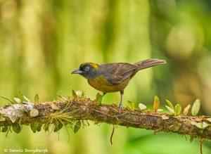 9023 Dusky-faced Tanager (Mitrospingus cassinii), Ecuador