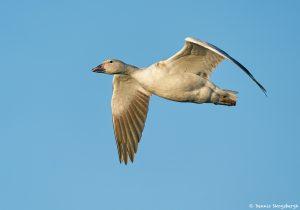 8354 Snow Goose (Chen caerulescens), Bosque del Apache, NM