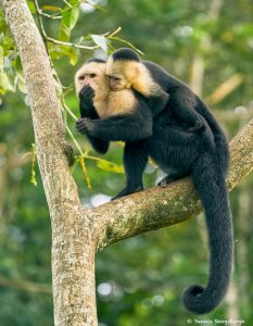 8790 White-Faced (Capuchin) Monkey (Cebus capucinus), Costa Rica