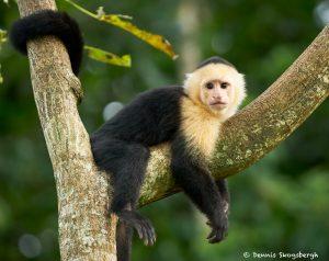 8791 White-Faced (Capuchin) Monkey (Cebus capucinus), Costa Rica