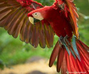 8492 Scarlet Macaw (Ara macao), Costa Rica