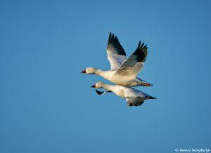 8355 Snow Geese (Chen caerulescens), Bosque del Apache, NM