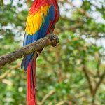 8493 Scarlet Macaw (Ara macao), Costa Rica