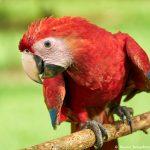8494 Scarlet Macaw (Ara macao), Costa Rica