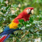 8495 Scarlet Macaw (Ara macao), Costa Rica
