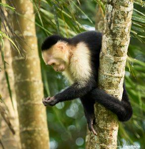 8796 White-Faced (Capuchin) Monkey (Cebus capucinus), Costa Rica