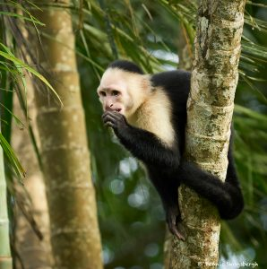 8797 White-Faced (Capuchin) Monkey (Cebus capucinus), Costa Rica