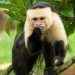 8798 White-Faced (Capuchin) Monkey (Cebus capucinus), Costa Rica