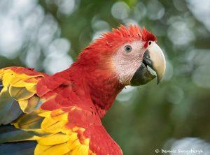 8800 Scarlet Macaw (Ara macao), Costa Rica