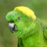 8801 Yellow-naped Parrot (Amazona auropalliata), Costa Rica