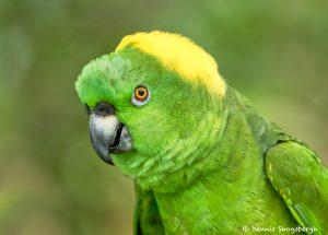 8801 Yellow-naped Parrot (Amazona auropalliata), Costa Rica