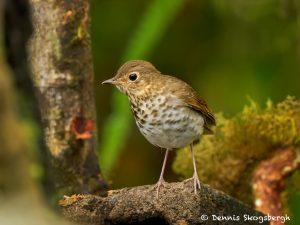 9047 Swainson's Thrush (Catharus ustulatus), Ecuador