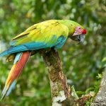 8802 Great Green Macaw (Ara ambiguus), Costa Rica