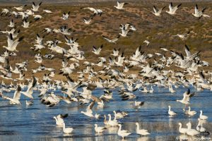 8356 Snow Geese (Chen caerulescens) and Ross Geese, Lift-Off, Bosque del Apache, NM