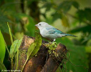 9018 Blue-Gray Tanager (Thraupis episcopus), Ecuador