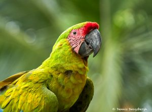 8803 Great Green Macaw (Ara ambiguus), Costa Rica