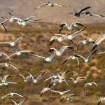 8357 Snow Geese (Chen caerulescens) and Ross Geese, Lift-Off, Bosque del Apache, NM
