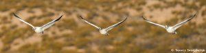 8359 Snow Geese (Chen caerulescens), Bosque del Apache, NM