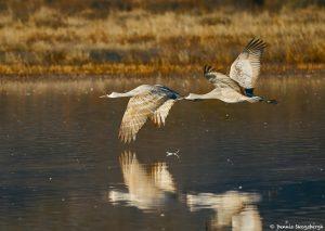 8361 Sandhill Cranes (Grus canadensis), Bosque del Apache, NM
