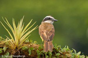 8897 Great Kiskadee (Megarhynchus pitangua), Costa Rica