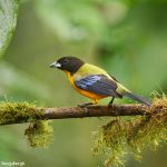 9028 Black-chinned Mountain Tanager (Anisognathus notabilis), Ecuador