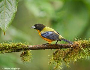 9028 Black-chinned Mountain Tanager (Anisognathus notabilis), Ecuador