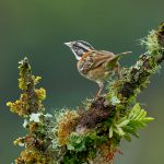8903 Rufous-collared Sparrow (Zonotrichia capensis), Costa Rica